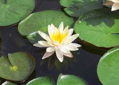 Tranquil Lotus Flower